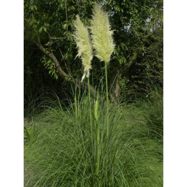 Epic Cortaderia selloana uSunningdale Silver u Hohes Garten Pampasgras uSunningdale Silver u