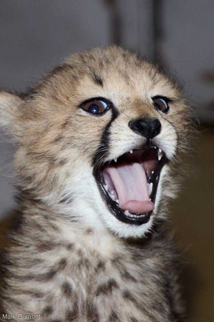 https://flic.kr/p/GG2zru | Cheeky cheetah
