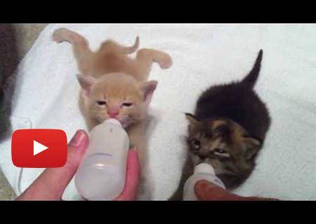 4 Week Old Kittens Bottle Feeding Animals Pinterest