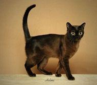 Burmese Cat Breed Profile