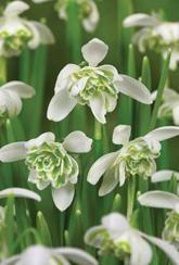 Galanthus nivalis Flore Pleno - snowdrops- Bulbs