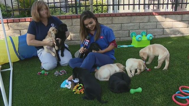 Guide Dogs Of America Needs Volunteer Foster Families To Take In