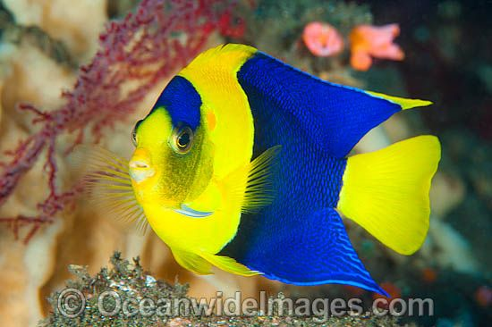 Blue and Gold Angelfish Centropyge bicolor