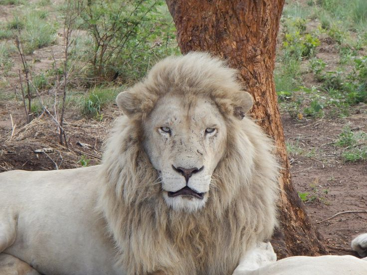 south africa animal white lion 3