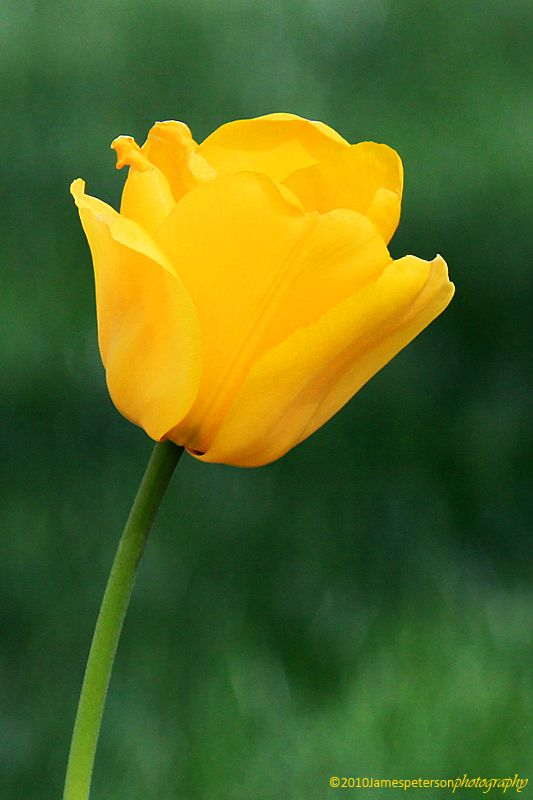 Yellow Tulip Flower Meaning More Information