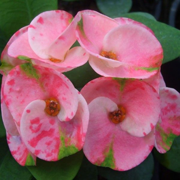 Crown of Thorns 'Confetti' (Euphorbia milii hybrid) - Indoor and Windowsill Plants - Indoor                                                                                                                                                                                 Más