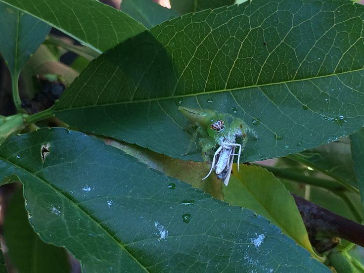 Jumping spider's lunch.  Derek W Veitch