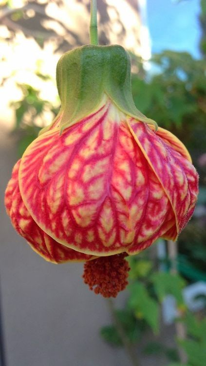 Abutilon is an exotic hibiscus like plant