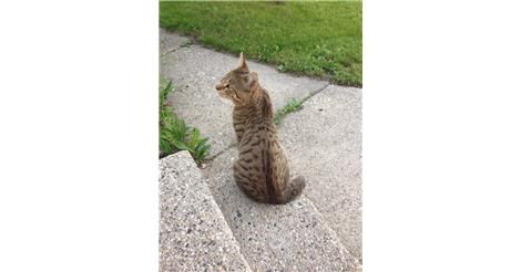 Found Cat - Male  - West Milwaukee, WI, USA 53214 on May 30, 2014 (08:00 AM) http://www.helpinglostpets.com/petdetail/?id=206063&utm_campaign=crowdfire&utm_content=crowdfire&utm_medium=social&utm_source=pinterest