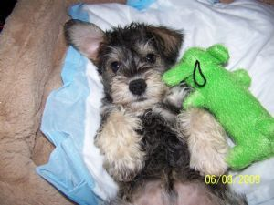 Toy Schnoodle Puppies for Sale | ... Schnauzer Puppies For Sale: Miniature Schnoodle to good home