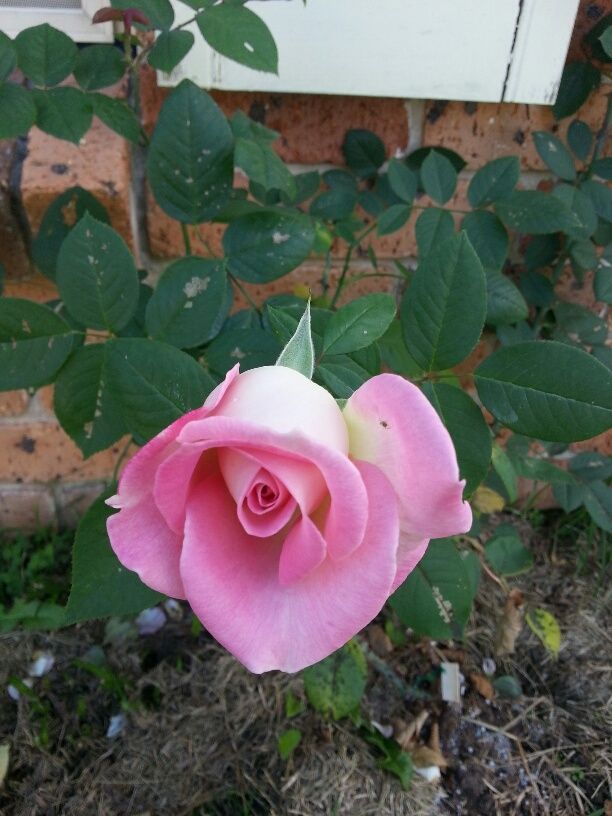 1st rose on our climber