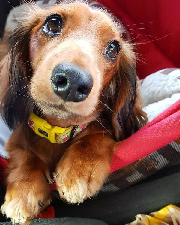 Discover More Information On Dachshunds Browse Through Our