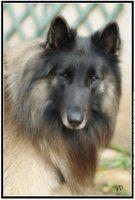 33 Photos de Berger Belge Tervueren wallpaper chien animal