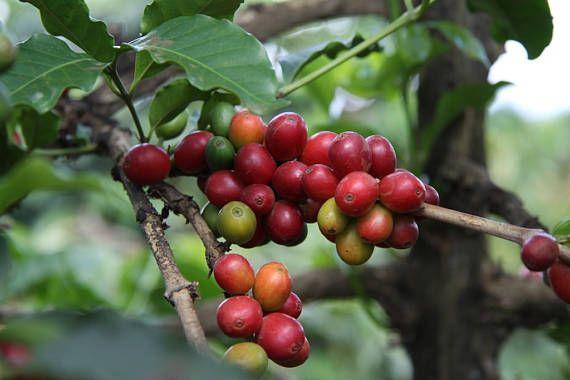 10 Coffee Tree Seeds  Coffea Arabica  Grow Your Own Coffee