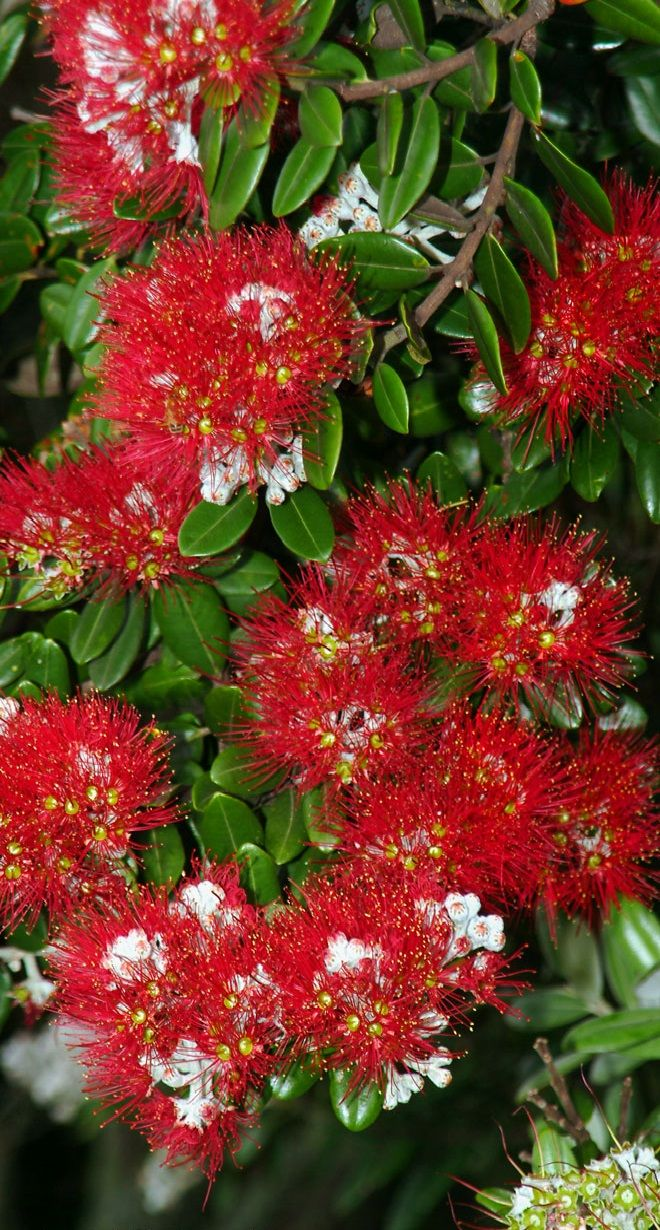 Pohutukawa - NZ