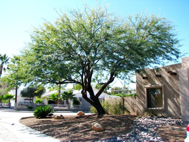 178 Best Desert Trees Images On Pinterest Desert Trees