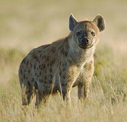 La hiena manchada o hiena moteada (Crocuta crocuta) es una especie de mamífero carnívoro de la familia Hyaenidae.2 Habita en África al sur del Sáhara en praderas y terrenos abiertos llanos, ausente de la cuenca del río Congo, Madagascar, casi toda Sudáfrica y desiertos como el Namib.1 Puede encontrarse incluso cerca de asentamientos humanos.3 4 Es la única especie de su género y no se reconocen subespecies vivientes.2 aunque durante el Pleistoceno vivió una subespecie, la hiena de las…