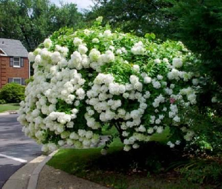 PeeGee Hydrangea (H. paniculata Grandiflora), the only hydrangea that can be pruned into a tree form.