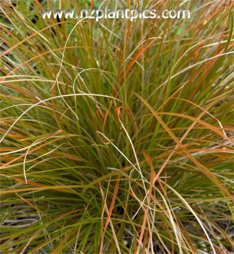 The 25+ best Carex grass ideas on Pinterest Carex plant, Carex - carex bronze reflection