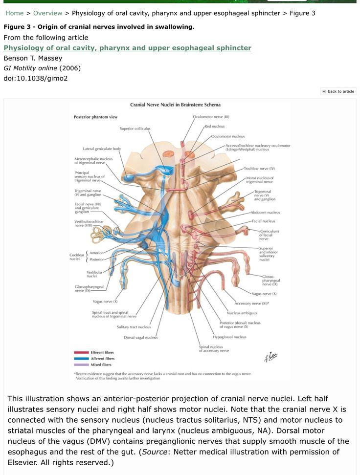 749 best Head & Neck Anatomy images on Pinterest   Anatomy, Nursing ...