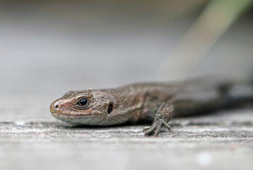 A viviparous lizard or common lizard/skogsödla(Zootoca vivipara).