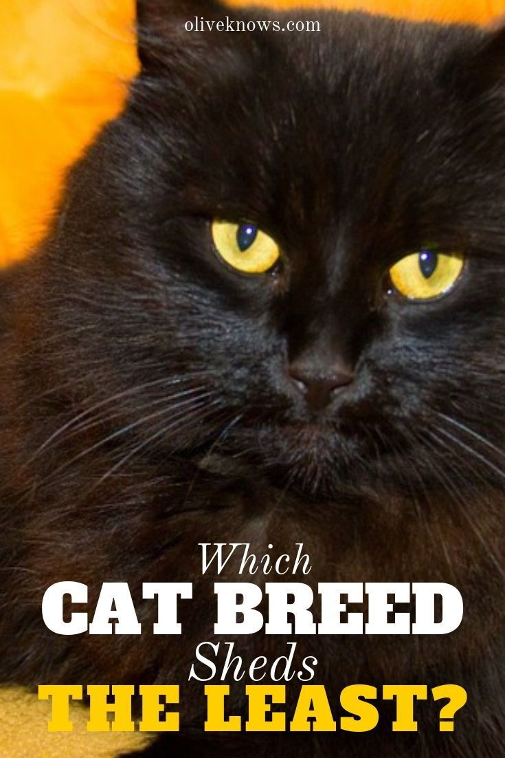 Which Cat Breed Sheds The Least? Cat breeds, Cats, Cat