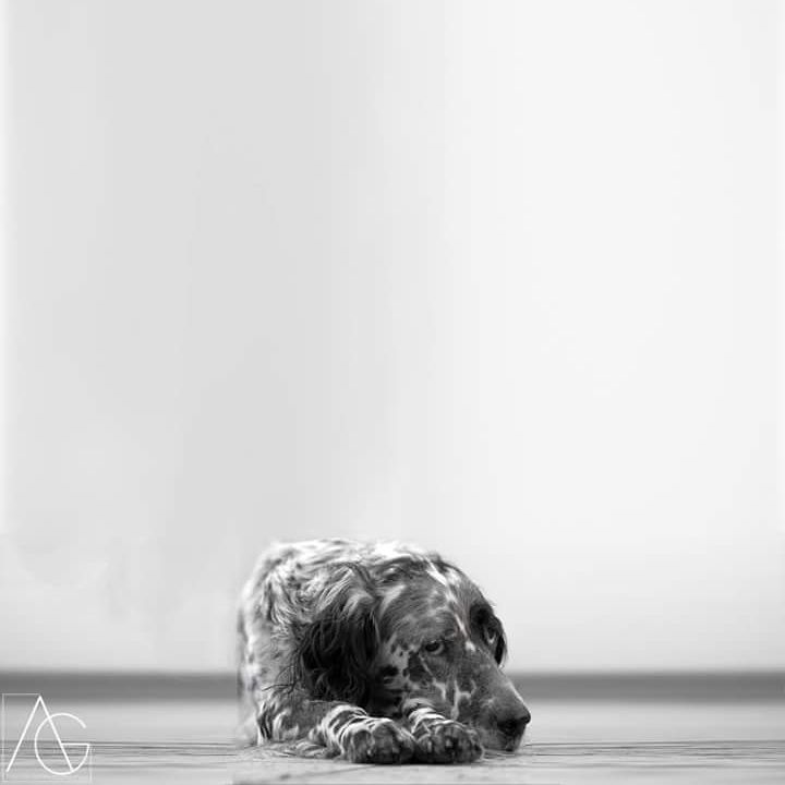 Écolo du Milobre de Bouisse à Alain Gillet#birddogoftheday#englishsetter #setteringlese #setteranglais #dog #hunt #chasse #kutya #cane #hund #perro #chien #animal #nature #landscape #jacks_features #mossyoakpup #pointingdogs #birddog #setter #setters #hikingdogsofinstagram#forest#milliondollarduckdog #nesksetter #gundog#gundogoftheday #gundoghunting#excellent_dogs http://misstagram.com/ipost/1565510577988040034/?code=BW5z5OFF_Vi