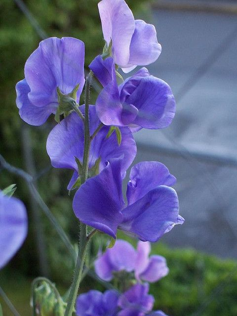 Sweet peas: I love the delicate flowers, the gorgeous colours and wonderful smell