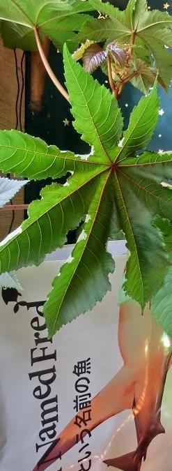 Plant X hit FRED - Glenn's Peppers zegt: De Ricinus!  Pas op want de zaden en mogelijk andere delen van deze plant zijn enorm giftig. Een aantal milligram van het zaad kan je binnen een aantal minuten doden. Het is een enorm mooie plant en ze noemen hem vaak 'De wonderboom' doordat deze zo snel groeit en bloeit. Ook zijn de zaden echt prachtig. Alleen super giftig.