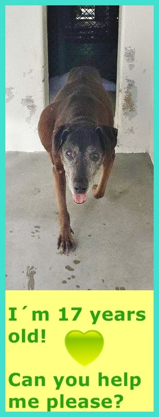 #A4808343 My name is BABY I'm a female Labrador Retreiver My friends at the shelter think I am about 17 years old. I came to the shelter on March 14, 2015 Not Listed ONLINE Carson Shelter, Gardena, California 216 Victoria Street, Gardena, California 310.523.9566 https://www.facebook.com/171850219654287/photos/pb.171850219654287.-2207520000.1426403605./383564225149551/?type=3&theater