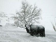 Hausyak im Winter–Als Winterweide nutzen Yaks in tieferen Lagen Sträucherweiden und Artemisia-Sträucher. Bis weit in den Winter stehen den Yaks aber Kobresiagräser und Seggen zur Verfügung, die bei Frostbeginn nicht so rasch absterben wie Süßgräser