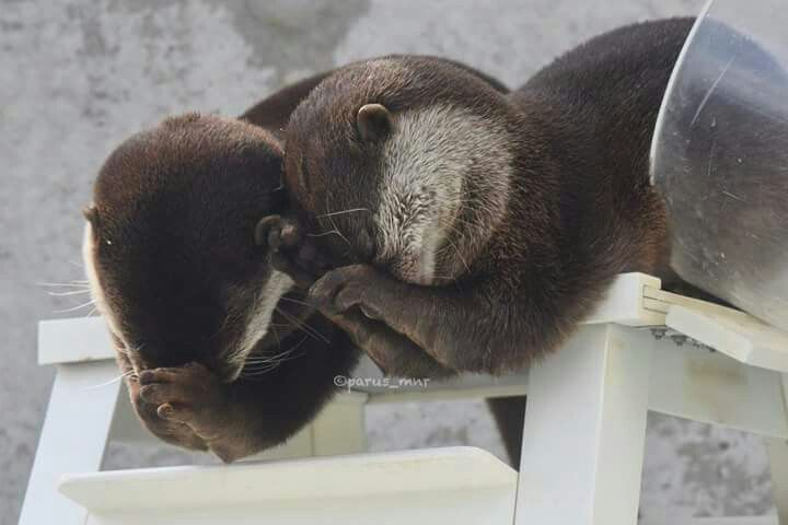 Otters, from parus_mnr@twitter. Looks like they're praying.