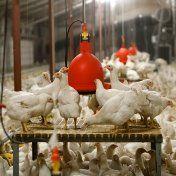 De dierenwelzijnsorganisatie Compassion in World Farming (CIWF) protesteert tegen de methode die deze maand is ingezet in de Verenigde Staten om dieren te ruimen vanwege vogelgriep.