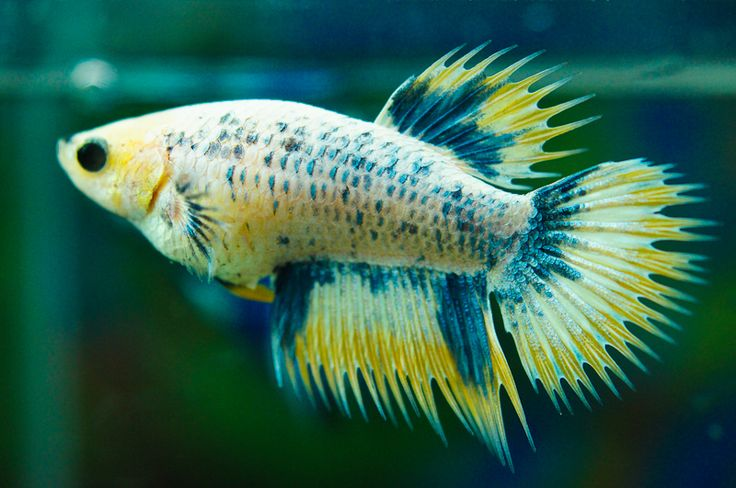 342 best images about betta fish on pinterest copper for Petco koi fish