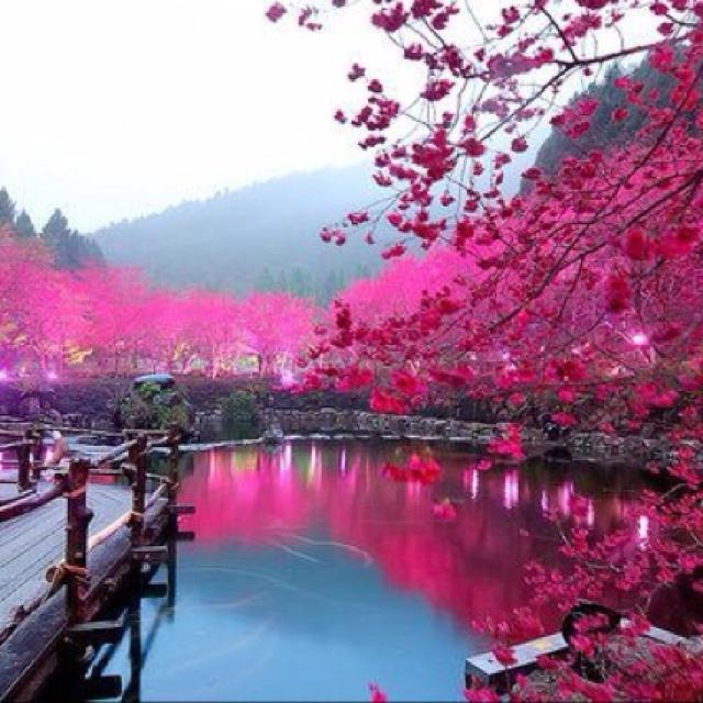 Cherry tree pond, Sakura, Japan