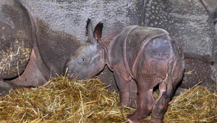 Nashornbaby in Stuttgart geboren - dpa