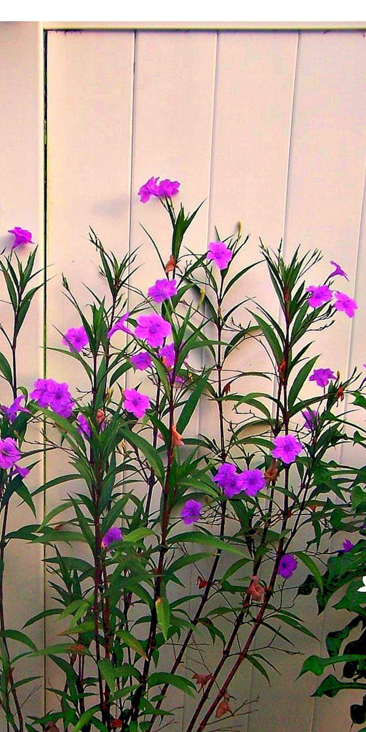Garden Bush: Rooted Mexican Petunia Ruellia Cutting Plants That Comes