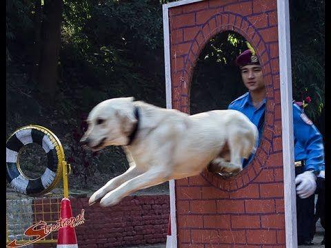 Kukur Tihar - fesztivál a kutyák tiszteletére - Hírek  #kutya #dog #video #kukurtihar #kutyabaráthelyek