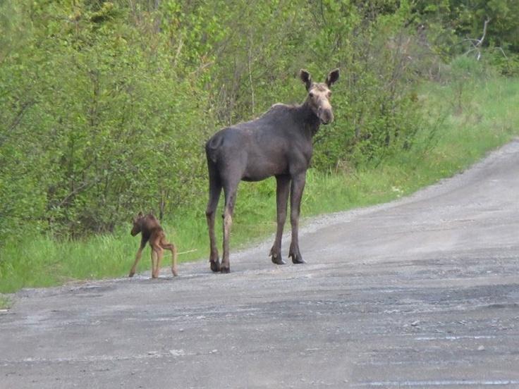 219f3b392d6f05ddeaec0e8fafde27e2 spotting calves 14 best moose & wildlife in moosehead maine images on pinterest