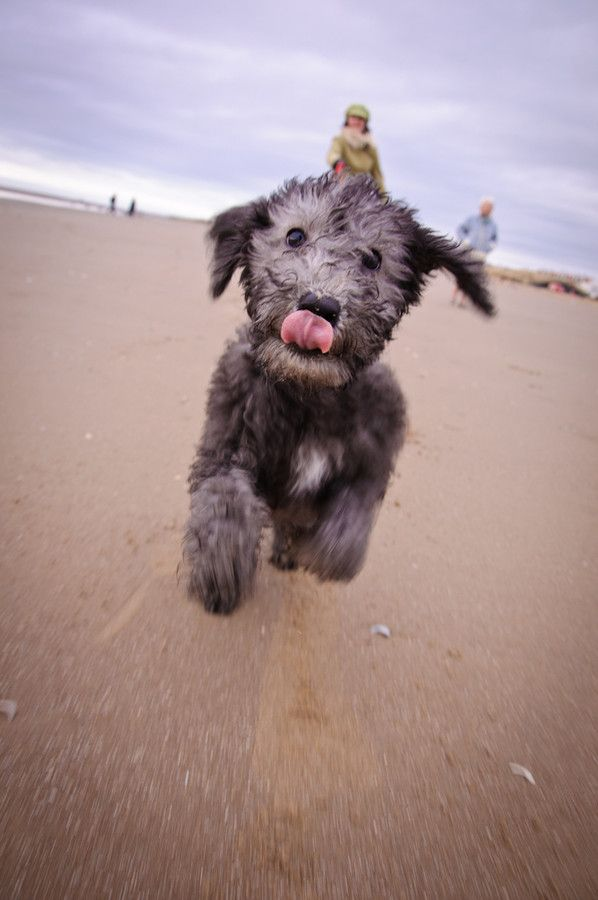 """""""excitables"""" by dave brownlee, via 500px. Bedlington Terrier #Dog #Puppy #Puppies"""