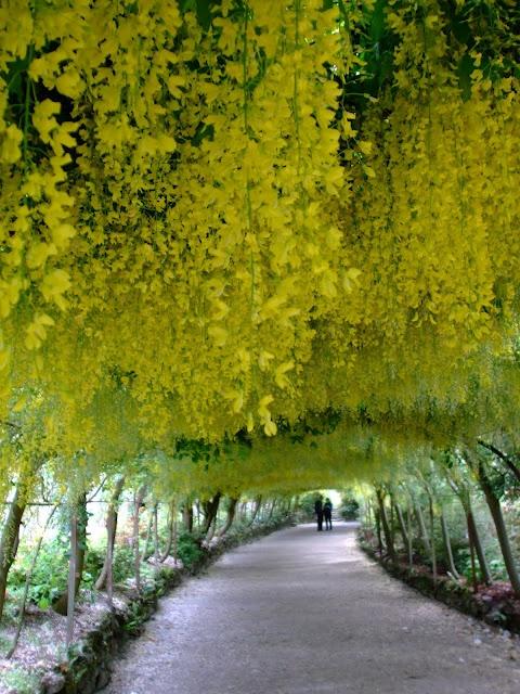 Laburnum Arch, Bodnant Gardens, North Wales