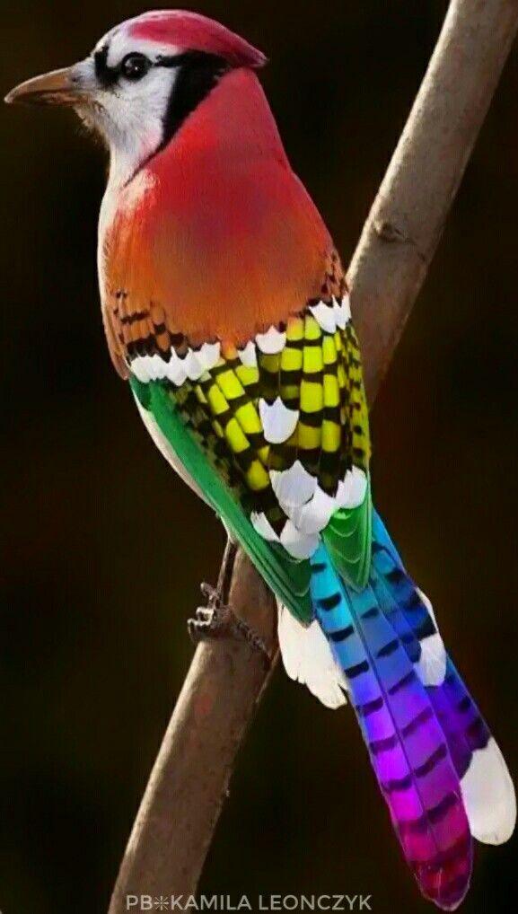Rainbow Jay | Birds, Beautiful birds, Most beautiful birds