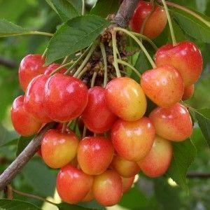 Cerisier bigarreau, PRUNUS avium 'NAPOLEON' (L.)