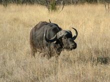 Foto do búfalo africano - Creative Commons Attribution 2.5 License