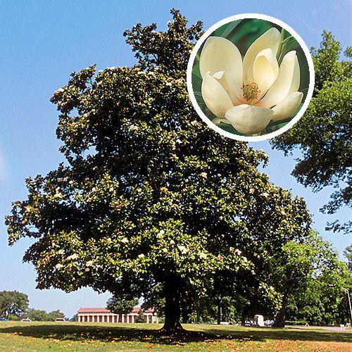 Fast Growing Shade Trees Sweet Bay Magnolia Backyard Pinterest And Garden
