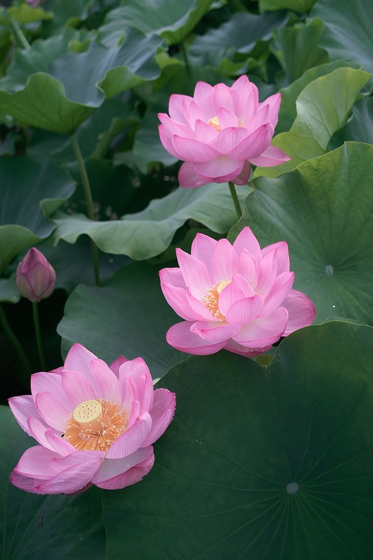 16 Best Flor De Lotus Images On Pinterest Lotus Flowers Lotus