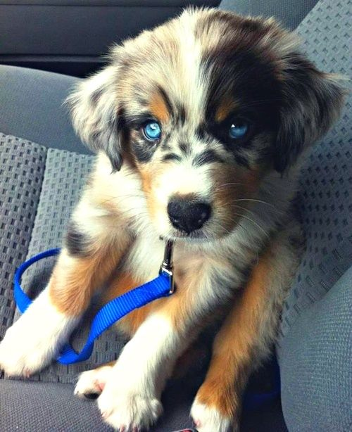 "Dear everyone: Stop repinning this as a ""Golden Retriever Siberian Husky."" This is an Australian Shephard; neither Huskies nor Goldens have spotted markings. Learn your dog breeds. Sincerely, those of us with a brain stem"