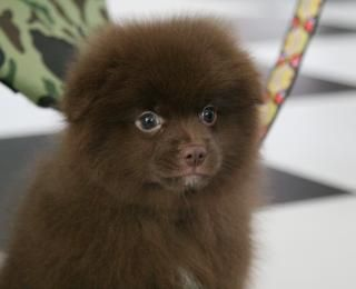 Chocolate Pomeranian with green eyes