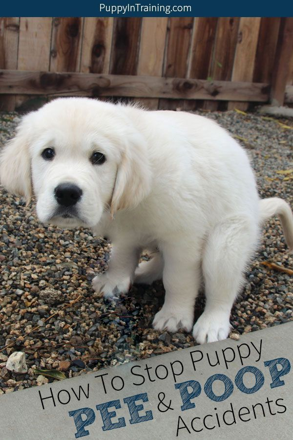 House Training A Puppy Understand Your Pet S Behavior Training