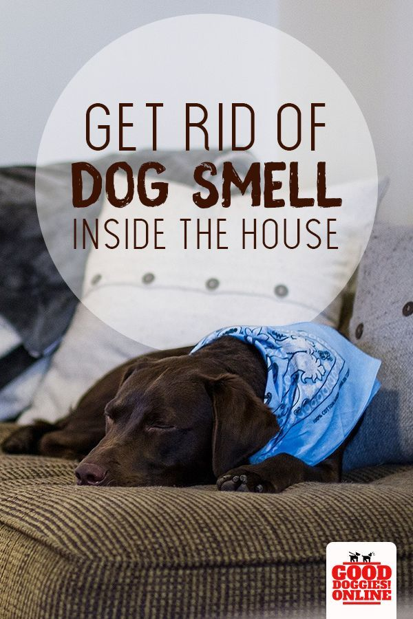 How To Get Rid Of Dog Smell In The House Dog Smells Big Dog